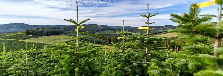 Ihr forstbetrieb feldmann sch tte sauerland for Weihnachtsbaum arten
